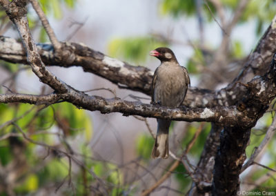Honeyguide in Tree