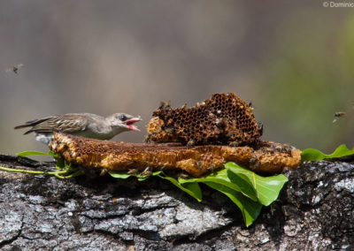 Honeyguide eating wax